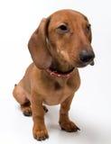Cão pequeno Fotografia de Stock