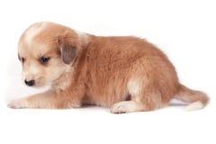 Cão pequeno Fotografia de Stock Royalty Free