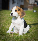 Cão pequeno Imagens de Stock Royalty Free