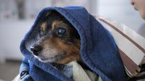 Cão pequeno após o banho video estoque