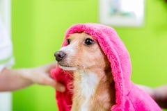 Cão pequeno após o lavagem pelo cabeleireiro do cão no salão de beleza da preparação do animal de estimação foto de stock royalty free
