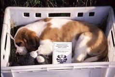 Cão pequeno Bernardine Imagem de Stock Royalty Free