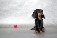 Cão pequeno & bola vermelha do brinquedo Foto de Stock Royalty Free