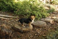 Cão pequeno bonito Foto de Stock