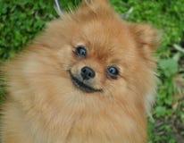 Cão pequeno bonito Foto de Stock Royalty Free