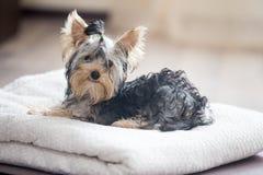 Cão pequeno bonito com laço foto de stock royalty free