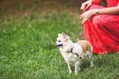 Cão pequeno bonito da chihuahua na grama verde Fotos de Stock