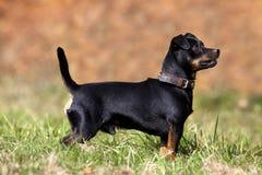 Cão pequeno bonito do pinscher no prado fora fotografia de stock