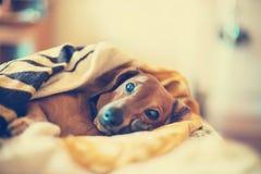 Cão pequeno bonito que encontra-se no sofá imagens de stock royalty free