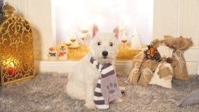 Cão pequeno bonito que senta-se pela chaminé no Natal video estoque