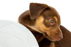 Cão pequeno com uma esfera Fotos de Stock Royalty Free