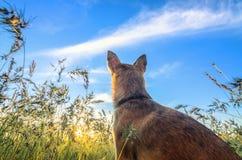 Cão pequeno da chihuahua que aprecia o por do sol dourado na grama Está de volta à câmera no campo colorido Céu azul e branco Imagens de Stock