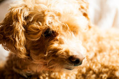 Cão pequeno do bichoodle Fotografia de Stock Royalty Free