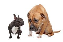Cão pequeno do cão grande Imagem de Stock