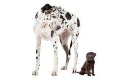 Cão pequeno do cão grande Fotografia de Stock