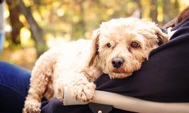 Cão pequeno do cockapoo em um regaço da pessoa imagens de stock royalty free