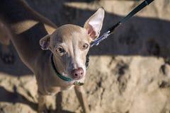 Cão pequeno do galgo italiano na praia fotografia de stock royalty free