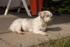 Cão pequeno do híbrido que coloca na terra foto de stock
