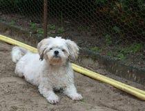 Cão pequeno do híbrido que coloca na terra fotografia de stock