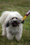 Cão pequeno do leão do aka de Lowchen Imagens de Stock