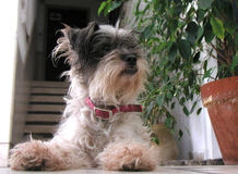 Cão pequeno do terrier Fotos de Stock Royalty Free