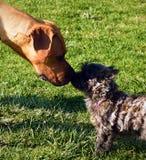 Cão pequeno e cão grande Fotos de Stock Royalty Free