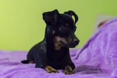 Cão pequeno e engraçado no sofá fotos de stock