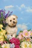 Cão pequeno em um grupo de flores Fotos de Stock Royalty Free