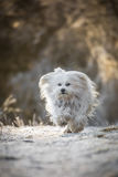 Cão pequeno feliz Fotografia de Stock
