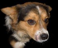 Cão pequeno isolado no preto Fotos de Stock Royalty Free