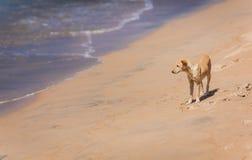 Cão pequeno na praia Imagens de Stock
