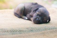 Cão pequeno no fllor Fotos de Stock Royalty Free