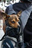 Cão pequeno no saco carreg Fotografia de Stock