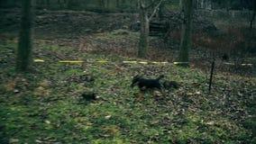 Cão pequeno no selvagem, procurando o alimento filme
