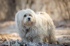 Cão pequeno ocasional Fotografia de Stock