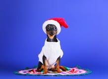 Cão pequeno preto em um chapéu de Santa Claus Cachorrinho bonito em um revestimento feito malha branco Convite do ano novo fotos de stock royalty free