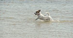 Cão pequeno que corre na odisseia 7Q da praia 4K FS700 vídeos de arquivo