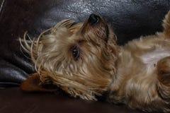 Cão pequeno que dorme em um sofá de couro Fotos de Stock Royalty Free