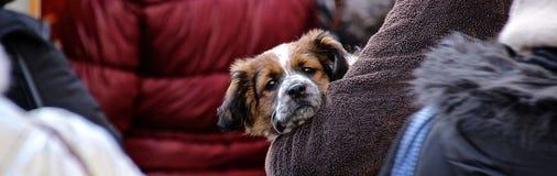 Cão pequeno que está sendo guardado Fotos de Stock Royalty Free