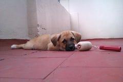 Cão pequeno que joga com rol Fotografia de Stock Royalty Free