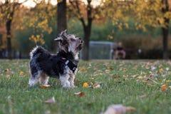 Cão pequeno que olha acima em seu proprietário fotografia de stock royalty free