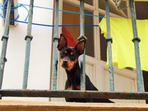 Cão pequeno que olha o cenário Foto de Stock
