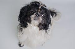 Cão pequeno que olha o proprietário imagens de stock