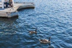 Cão pequeno que olha uma nadada de dois gansos perto Fotografia de Stock Royalty Free