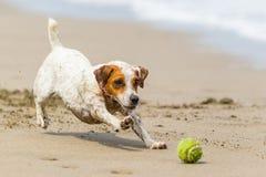 Cão pequeno que persegue a bola Imagem de Stock Royalty Free