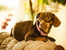 Cão pequeno que senta-se no sofá Imagem de Stock