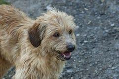 Cão perdido do goldun-retrivur do puro-sangue na natureza para procurar a maneira para a casa, montanha de Plana imagens de stock