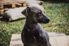 Cão peruano foto de stock royalty free