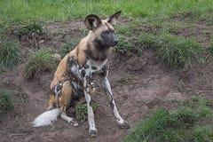 Cão pintado fotografia de stock royalty free
