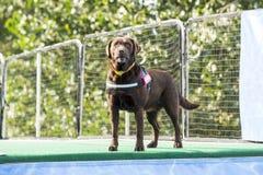 Cão poised para saltar na associação fotografia de stock
